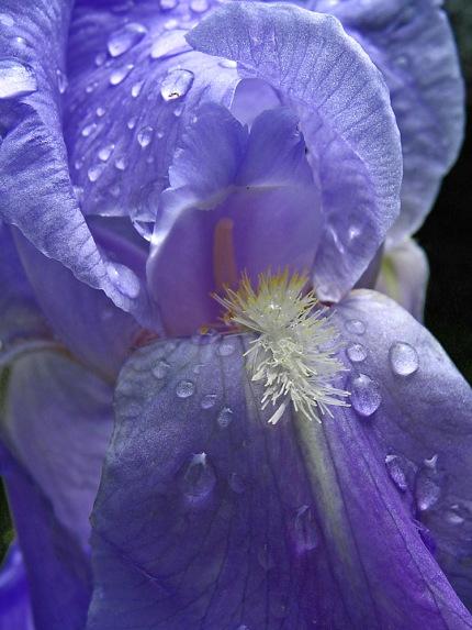 CP-IMG_4233-iris bleu
