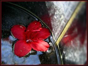 CP-IMG_6752-azalée dans l'arrosoir