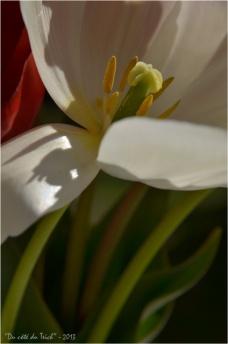 BLOG-DSC_20941-tulipe blanche et tiges