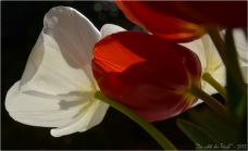 BLOG-DSC_20949- tulipes rouges et blanches