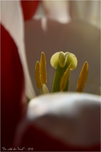 BLOG-DSC_20950-coeur tulipe 1