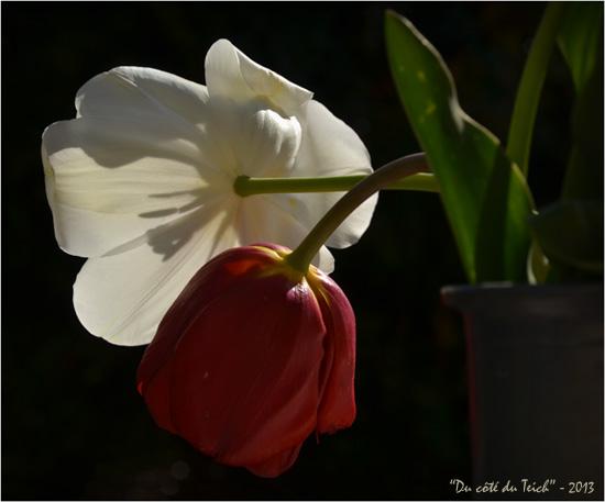 BLOG-DSC_20966-tulipes blanche et rouge en vase 2