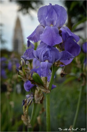 BLOG-DSC_21524-iris jardin botanique Bordeaux Bastide et église Ste Marie