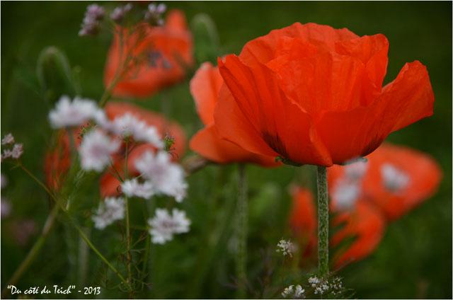 BLOG-DSC_21541-pavots jardin botanique Bordeaux