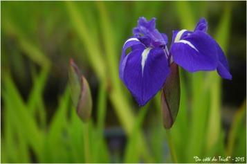 BLOG-DSC_2157-iris d'eau jardin botanique Bordeaux Bastide