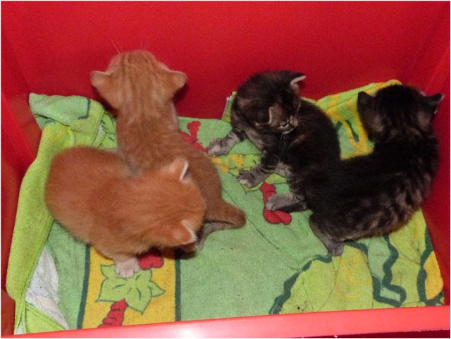 P1030743-chatons 2 mâles roux et 2 femelles tigrées