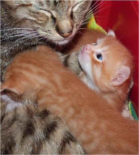 P1030766-mère et 2 chatons roux