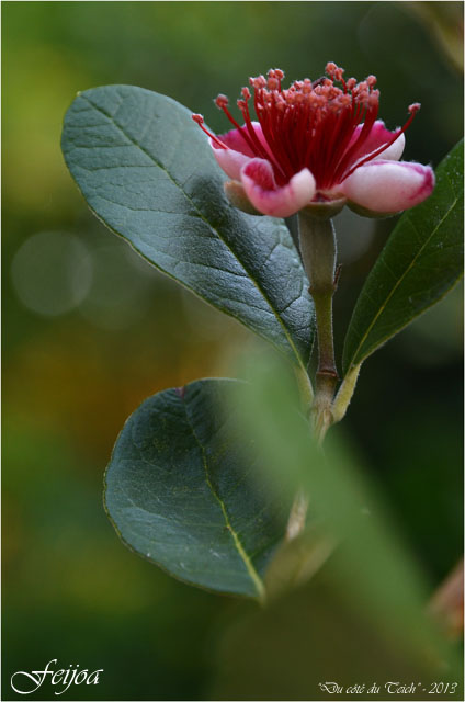 BLOG-DSC_23110-fleur feijoa