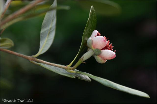 BLOG-DSC_23114-fleur feijoa 2