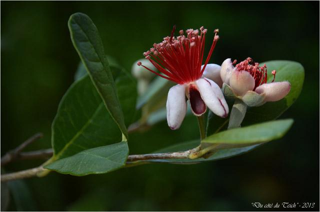 BLOG-DSC_23123-fleurs feijoa