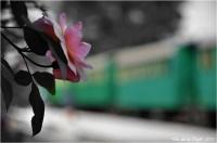 BLOG-DSC_25092-rose et train Marquèze N&C2