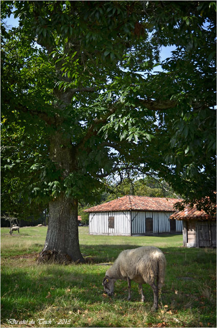 BLOG-DSC_25268-mouton airial Marquèze