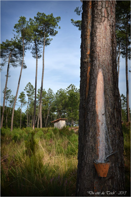 BLOG-DSC_25361-pot gemmeur forêt Marquèze