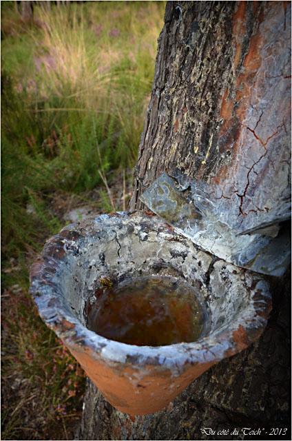 BLOG-DSC_25362-pot gemmeur et abeille forêt Marquèze