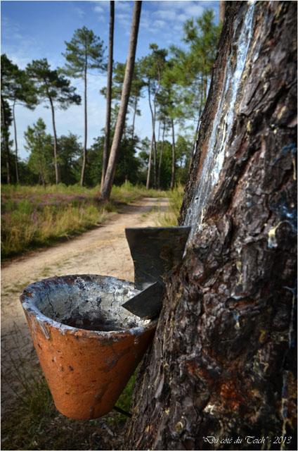 BLOG-DSC_25363-pot gemmeur forêt Marquèze