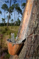 BLOG-DSC_25365-pot gemmeur forêt Marquèze