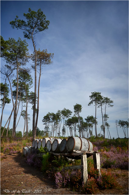 BLOG-DSC_25369-forêt Marquèze