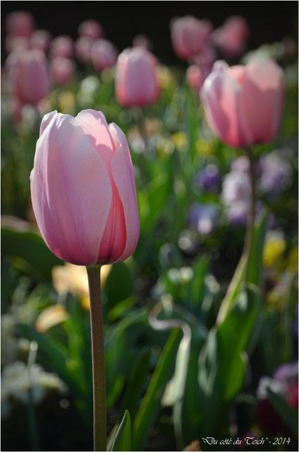 BLOG-DSC_27472-tulipes parc mauresque