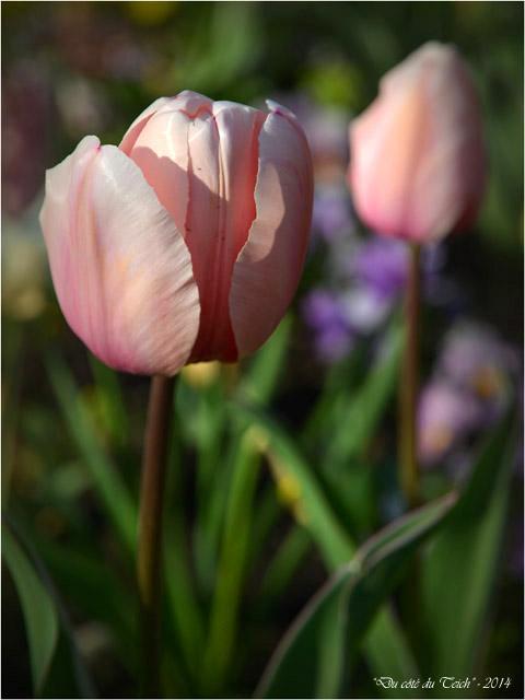 BLOG-DSC_27479-tulipes parc mauresque Arcachon