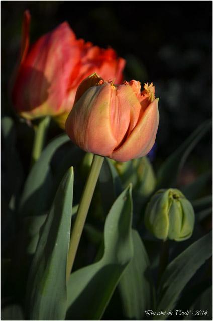 BLOG-DSC_27489-mes tulipes