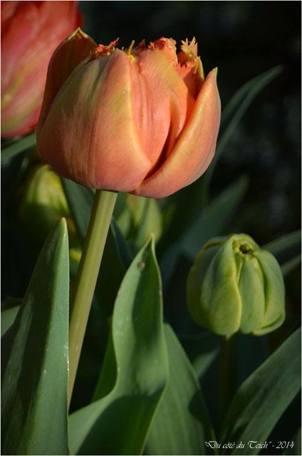 BLOG-DSC_27490-mes tulipes