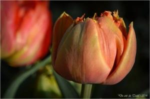 BLOG-DSC_27492-mes tulipes