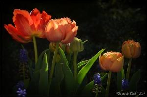 BLOG-DSC_27505-tulipes et muscaris