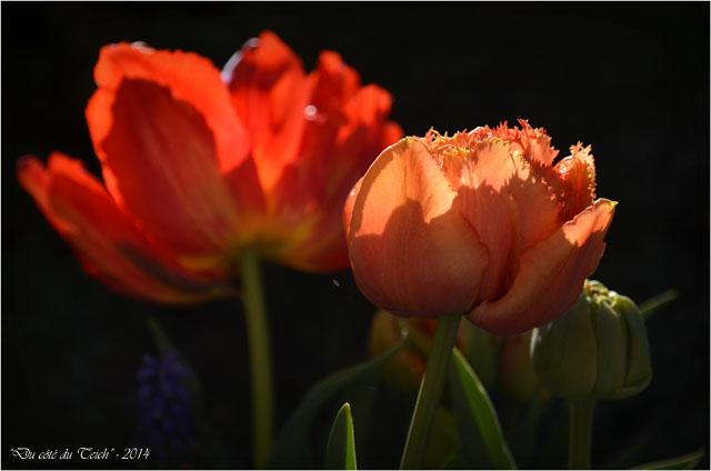 BLOG-DSC_27506-tulipes et muscaris