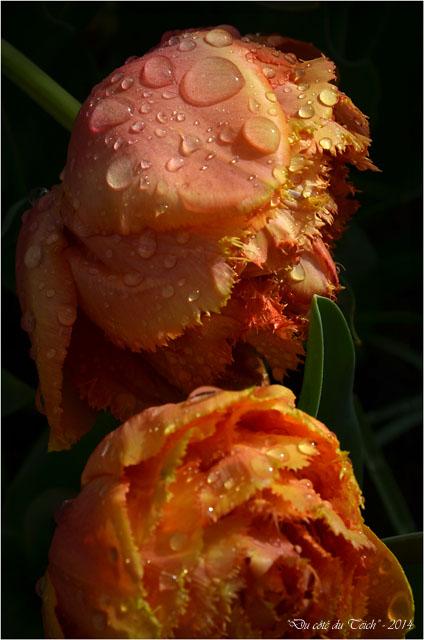 BLOG-DSC_27526-tulipes sous l'éclaircie1