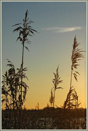 BLOG-DSC_0618-roseaux sentier du littoral