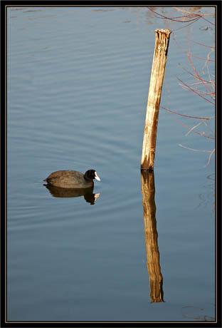 BLOG-DSC_1018-foulque et reflet piquet