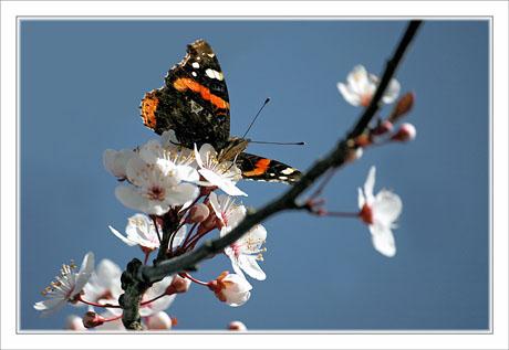 BLOG-DSC_1375-papillon arbre en fleurs 2