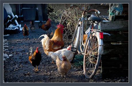 BLOG-DSC_4426-vélo & coq