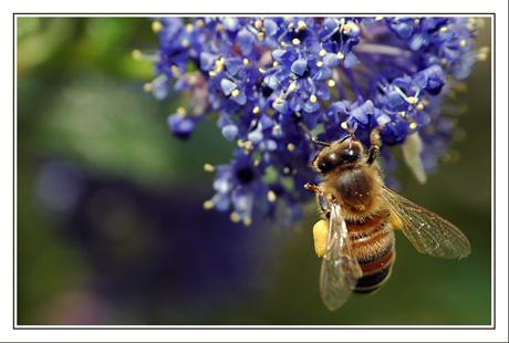 BLOG-DSC_5836-abeille & céanothes