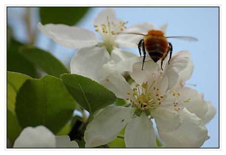 BLOG-DSC_5848-abeille & pommier