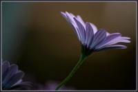 BLOG-DSC_6237-marguerite bleue
