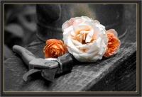 BLOG-DSC_6367-roses & sécateur couleur N&B