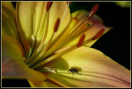 BLOG-DSC_7173-mouche dans le lys