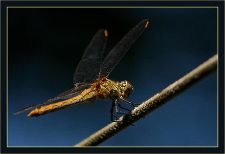 BLOG-DSC_8626-libellule fond bleu