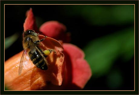 BLOG-DSC_8630-abeille sur bignone