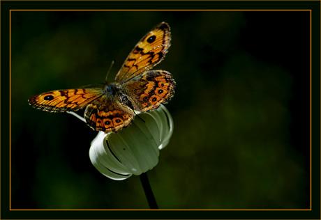 BLOG-DSC_8639-papillon sur marguerite