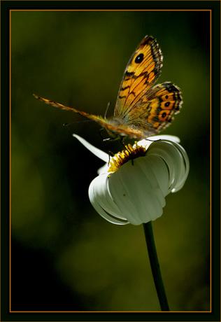 BLOG-DSC_8640-battement d'aile papillon sur marguerite