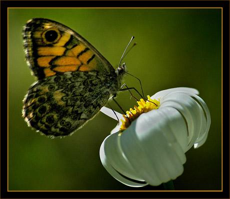 BLOG-DSC_8641-papillon sur marguerite
