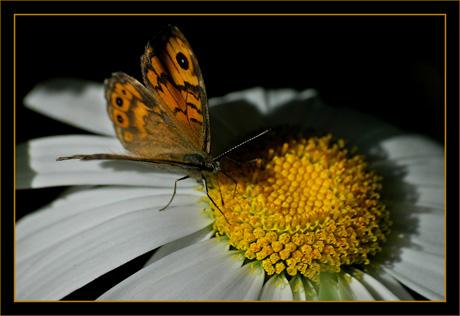 BLOG-DSC_8644-papillon sur marguerite
