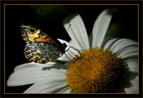 BLOG-DSC_8645-papillon sur marguerite