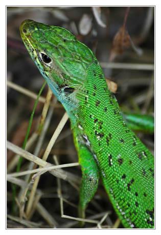 BLOG-DSC_8662-lézard vert