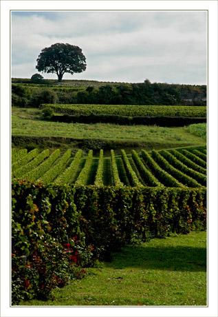 BLOG-DSC_9331-arbre & vignes