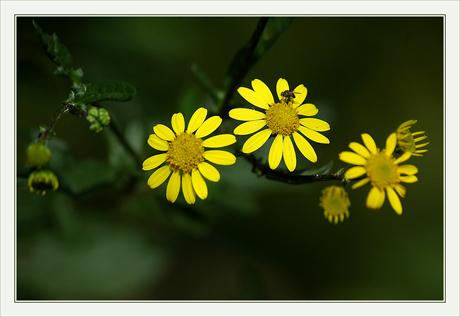 CP-DSC_8356-fleurs jaunes INV
