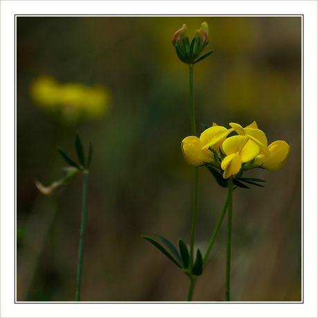 CP-DSC_8373-REC-petites fleurs jaunes