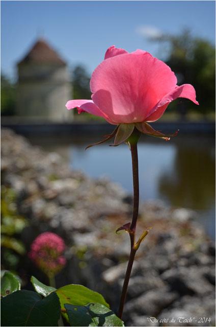 BLOG-DSC_28566-rose chateau la Brède